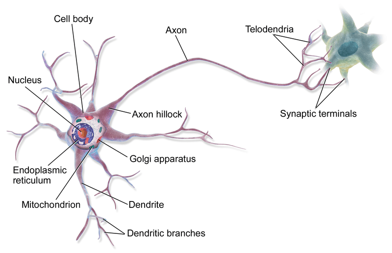 Neuron- Structure and Function