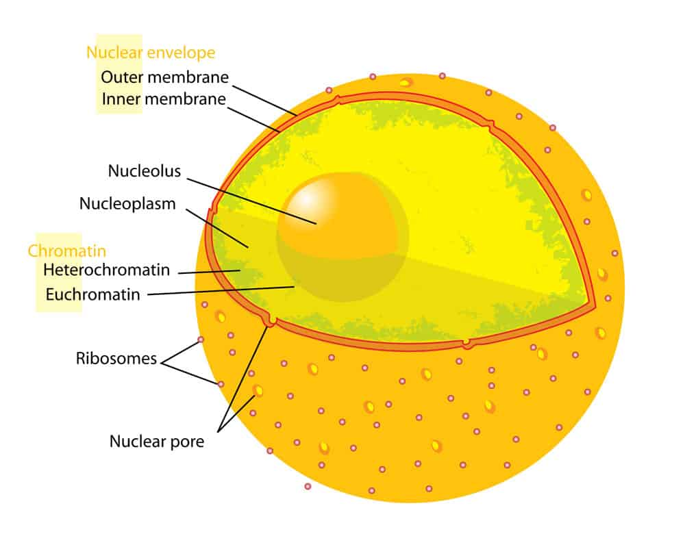 cell biology- Nucleus