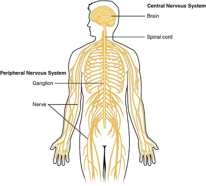 Nervous system of Humans- CNS and PNS